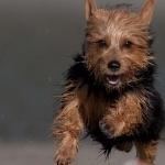 Australian Terrier funny