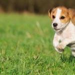 Beagle-Harrier new wallpaper