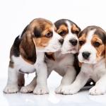 Beagle 2016