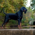 Black and Tan Coonhound desktop