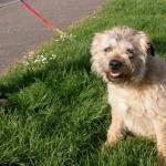 Border Terrier free