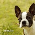 Boston Terrier download