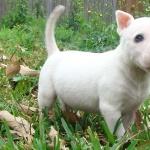 Bull Terrier Miniature hd desktop
