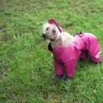 Chinese Crested Dog background
