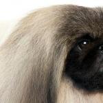 Pekingese photo