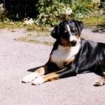 Appenzeller Sennenhund image