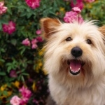 Australian Terrier high definition wallpapers