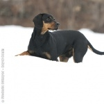 Austrian Black and Tan Hound high definition wallpapers