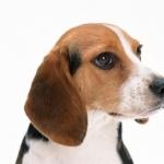 Beagle-Harrier images