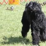 Black Russian Terrier full hd