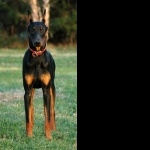 Doberman Pinscher free download