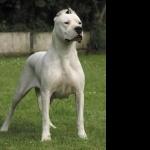 Dogo Argentino pic