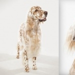 English Setter full hd