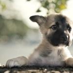 German Shepherd Dog hd desktop