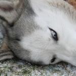 Husky free