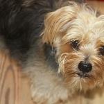 Norfolk Terrier wallpapers for desktop