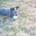 Australian Stumpy Tail Cattle Dog photo