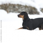 Austrian Black and Tan Hound desktop wallpaper