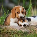 Beagle-Harrier download wallpaper