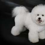 Bichon Frise wallpapers for desktop