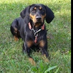 Black and Tan Coonhound background