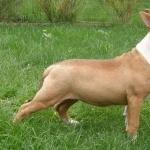 Bull Terrier Miniature hd pics