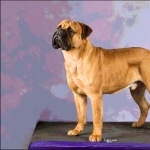 Bullmastiff new photos