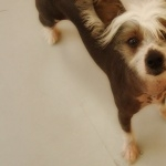 Chinese Crested Dog photo