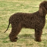 Irish Water Spaniel free