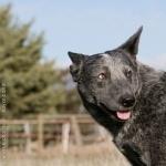 Australian Stumpy Tail Cattle Dog desktop
