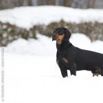 Austrian Black and Tan Hound 2016
