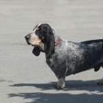Basset Bleu de Gascogne high quality wallpapers