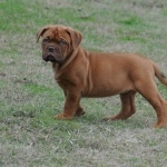 Dogue de Bordeaux desktop wallpaper