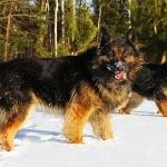 German Shepherd Dog cute