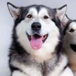 Husky free wallpapers