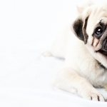 Pug new photos