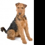 Airedale Terrier photos