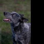 Australian Stumpy Tail Cattle Dog image