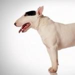 Bull Terrier Miniature 2016