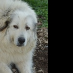 Great Pyrenees download