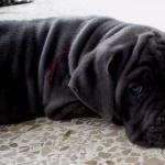Neapolitan Mastiff hd photos
