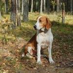American Foxhound desktop