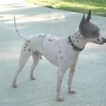 American Hairless Terrier cute
