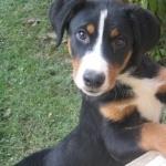 Appenzeller Sennenhund hd pics