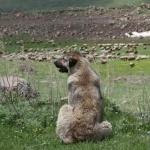 Armenian Gampr dog desktop