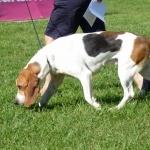Artois Hound breed