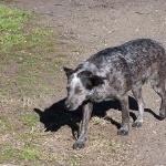 Australian Stumpy Tail Cattle Dog pics