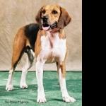 Beagle-Harrier free wallpapers
