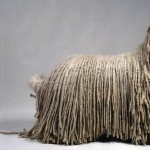 Bergamasco Shepherd desktop wallpaper