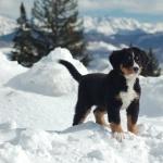 Bernese Mountain Dog images